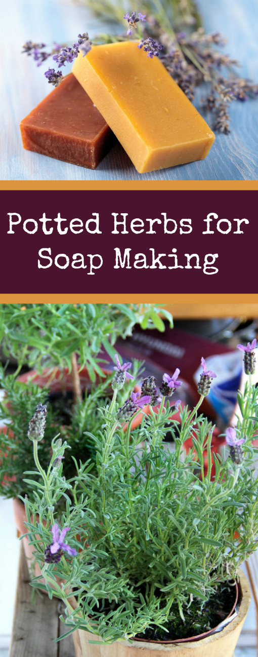 Potted Herbs for Soap Making - fresh herbs for your soap making projects that are suitable for container gardening #soapmaking #gardening #crafts #herbs