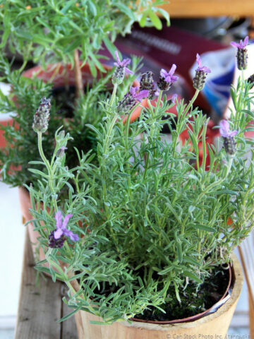 Make Herbal Soap with Fragrant Potted Herbs