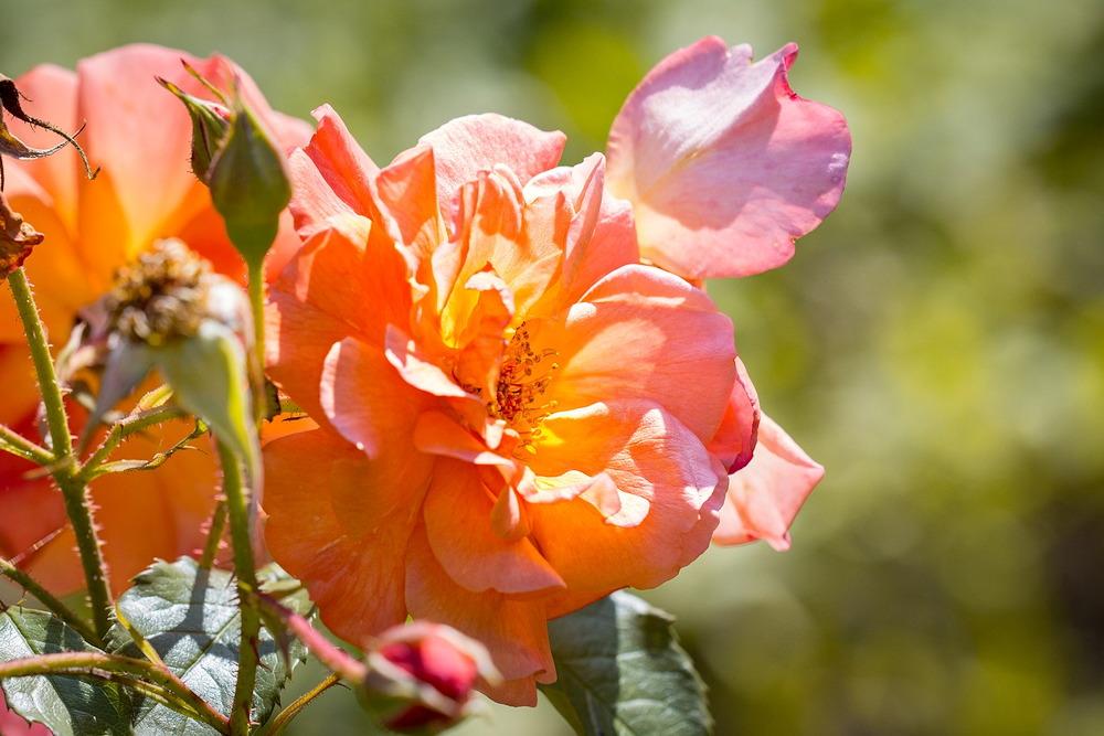 herbs for bath soaks - roses
